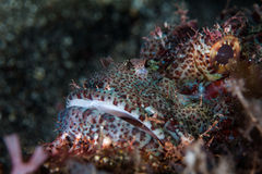 Scorpionfish Face Royalty Free Stock Photography