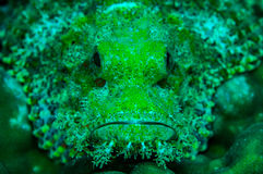 Scorpionfish Stock Image