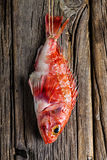 Scorpionfish. Fresh red scorpionfish hanging on a wooden wall Stock Image