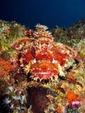 Scorpionfish Head Stock Image