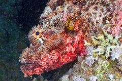 Scorpionfish head Stock Photography