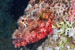 Scorpionfish head Stock Photography