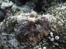 Scorpionfish hoofd Royalty-vrije Stock Foto