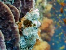 Scorpionfish - Moalboal, Cebu, Filippijnen Stock Foto's