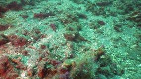 Scorpionfish na rafie koralowa Bali, Indonezja zbiory