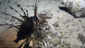 Scorpionfish near seashell on background of underwater sandy bottom in Red sea. Swimming in world of colorful beautiful wildlife of corals reefs. Inhabitants stock video footage