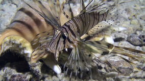 Scorpionfish near seashell underwater on sandy bottom in Red sea. Swimming in world of colorful beautiful wildlife of corals reefs. Inhabitants in search of stock video footage