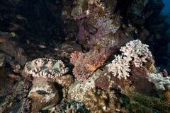 Scorpionfish and ocean Stock Photos