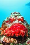 Scorpionfish på en korallrev i det karibiska havet Ecuador Royaltyfria Bilder