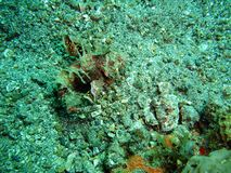 Scorpionfish Royalty Free Stock Images