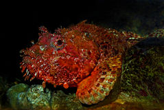 Scorpionfish. Portrait of a scorpionfish (Scorpaena) from Adriatic Sea, Croatia Stock Photography