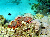 Scorpionfish rött hav, Dahab Royaltyfri Bild
