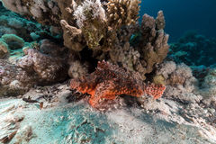 Scorpionfish  in the Red Sea. Stock Image