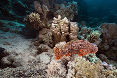 Scorpionfish  in the Red Sea. Royalty Free Stock Photos