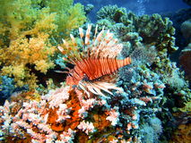 Scorpionfish, Red sea, Dahab Royalty Free Stock Image