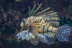 Scorpionfish in the sea Royalty Free Stock Photos