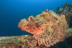 Scorpionfish Stock Photo