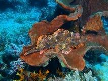 Scorpionfish Stock Photos