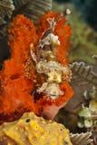 scorpionfish tasseled Стоковое фото RF