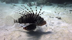 Scorpionfish underwater on sandy bottom on background landscape in Red sea. Swimming in world of colorful beautiful world of coral reefs. Inhabitants in search stock footage