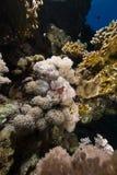 Scorpionfish van de duivel in het Rode Overzees stock foto's