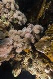 Scorpionfish van de duivel in het Rode Overzees stock fotografie