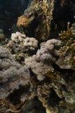 Scorpionfish van de duivel in het Rode Overzees stock afbeelding