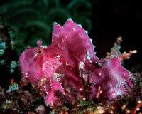 Scorpionfish van het Blad van Fuschia Stock Afbeeldingen