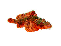 Scorpionfish On A White. Isolated scorpionfish on a white background Stock Photography
