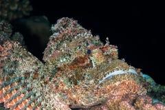 Scorpionfish zwarte achtergrond stock foto