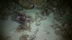Scorpionfishe Scorpion Fishe hunting night on reef stock video footage