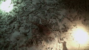 Scorpionfishe Scorpion Fishe night on reef Red Sea stock video footage
