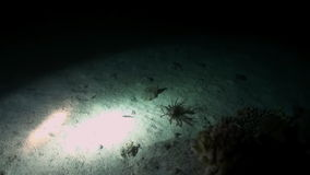 Scorpionfishe Scorpion Fishe night on reef Red Sea stock footage
