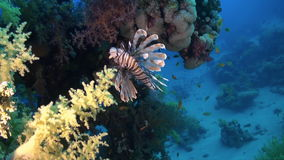 Scorpionfishe Scorpion Fishe on reef Red Sea stock video footage
