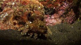 Scorpionfishe-Skorpion Fishe-Nacht auf Riff stock video footage