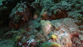 Scorpionfishes on sea floor in search of food. Scorpion fishes Scorpionfishes hiding on sea floor in search of food. Amazing, beautiful underwater world Bali stock video
