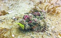 Scorpionfishmatställe Royaltyfri Fotografi