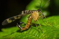 Scorpionfluga Royaltyfri Bild