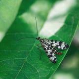 Scorpionfly или Panorpa communis, сидящ на лист на зеленой предпосылке Полезные насекомые разрушают бичи Макрос конца-вверх стоковые изображения rf
