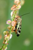 Scorpionfly. Close up picture of a scorpion fly royalty free stock image
