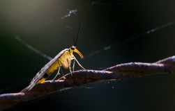 Scorpionfly on Barbed Wire Royalty Free Stock Photos