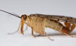 Scorpionfly close-up Royalty Free Stock Photo