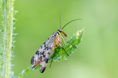 Scorpionfly Royalty Free Stock Photos
