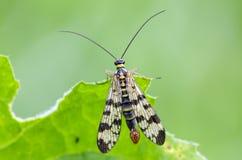 Scorpionfly stock photo