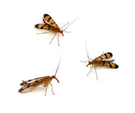 Scorpionfly. Common Scorpionfly (Panorpa) on a white background Stock Photography