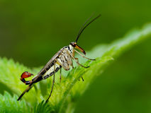 Scorpionfly male. This fly is named after a scorpion because of the similarity of the stinger (male). The fly is harmless and the scorpiontail (genitals) is only Royalty Free Stock Image