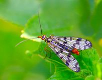 Scorpionfly (Mecoptera). Stock Photography