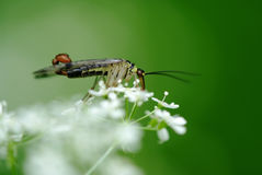 Scorpionfly (Panorpa communis). Scorpionfly insect on flower (Panorpa communis Stock Image