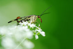 Scorpionfly (Panorpa communis) Stock Image