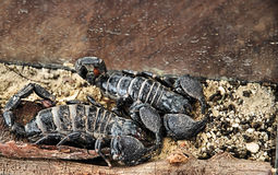Scorpioni Fotografia Stock
